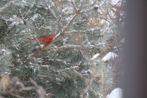 Male Cardinal in pine